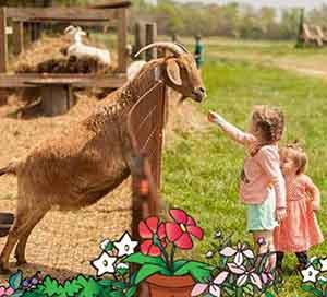 children feeding goats at Belvedere Plantation