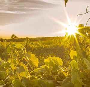 wilderness run vineyard grape vines